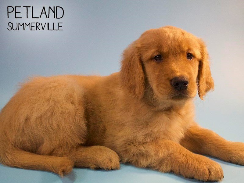 Golden Retriever-Male-Golden-2661171-Petland Summerville
