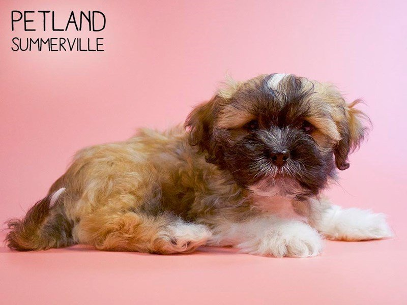 Teddy Bear-Female-brown white-2660972-Petland Summerville