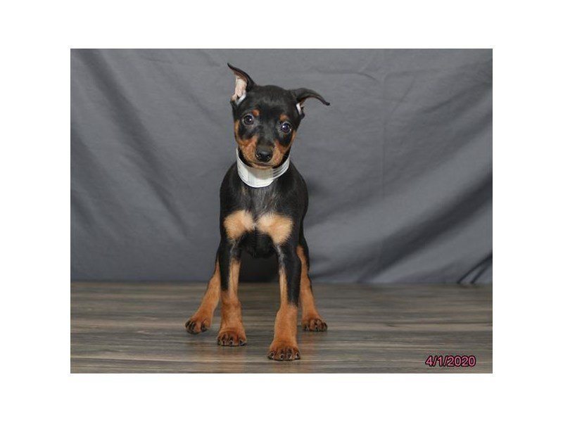 Miniature Pinscher-Male-Black / Rust-2670661-Petland Summerville