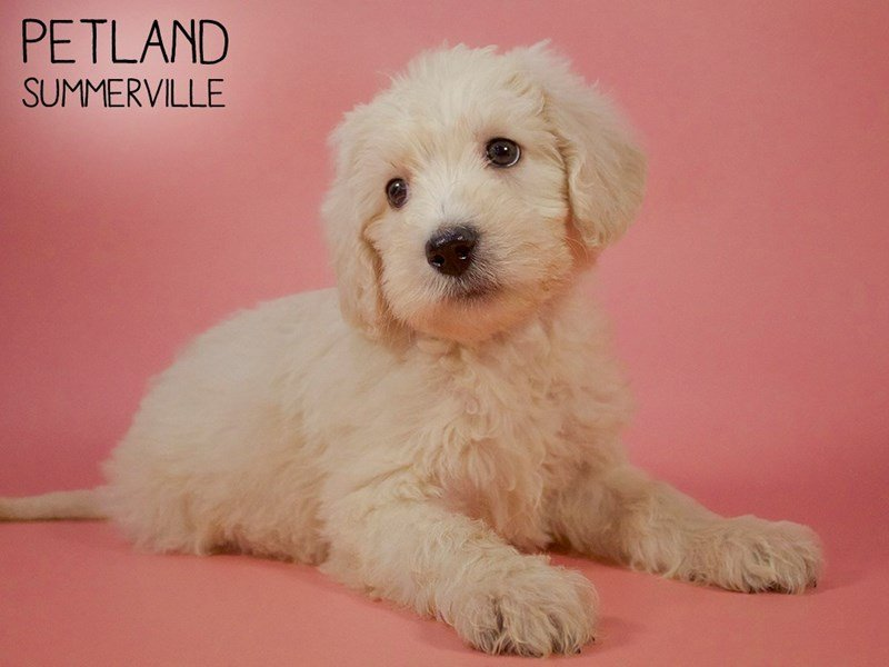 Labradoodle-Female-Yellow-2683878-Petland Summerville