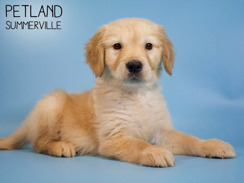 Golden Retriever-Male-Golden-2683874-Petland Summerville