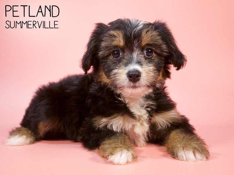 Chinese Crested-Female-Black / Tan-2683848-Petland Summerville