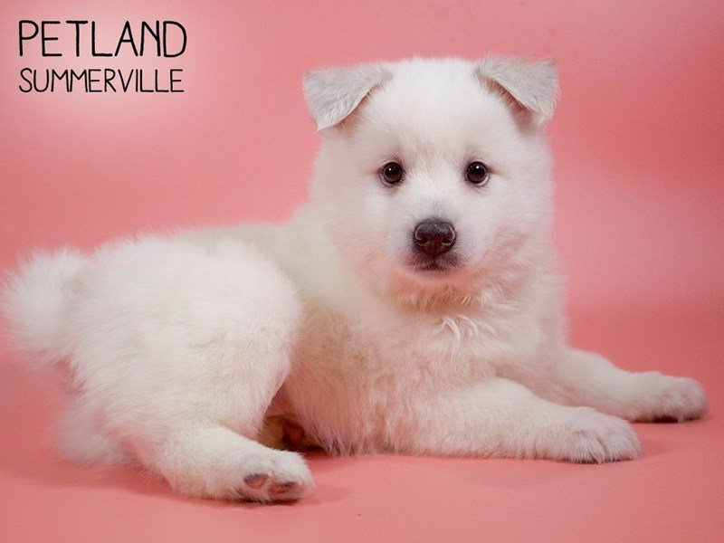 Pomsky-Female-White-2679701-Petland Summerville