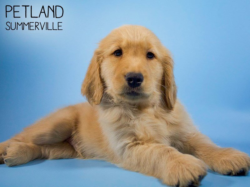 Golden Retriever-Male-Golden-2679810-Petland Summerville