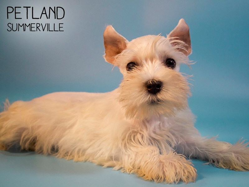Miniature Schnauzer-Male-White-2690614-Petland Summerville