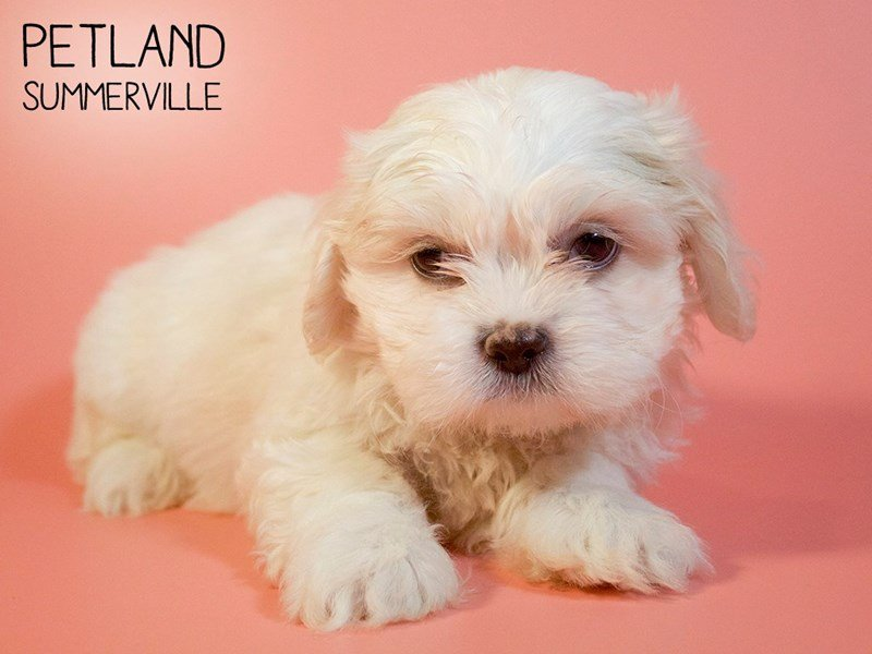 Teddy Bear-Female-Brown White-2693375-Petland Summerville