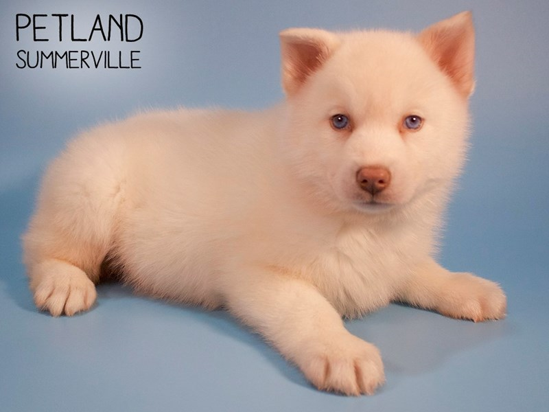 Pomsky-Male-Cream-2704222-Petland Summerville