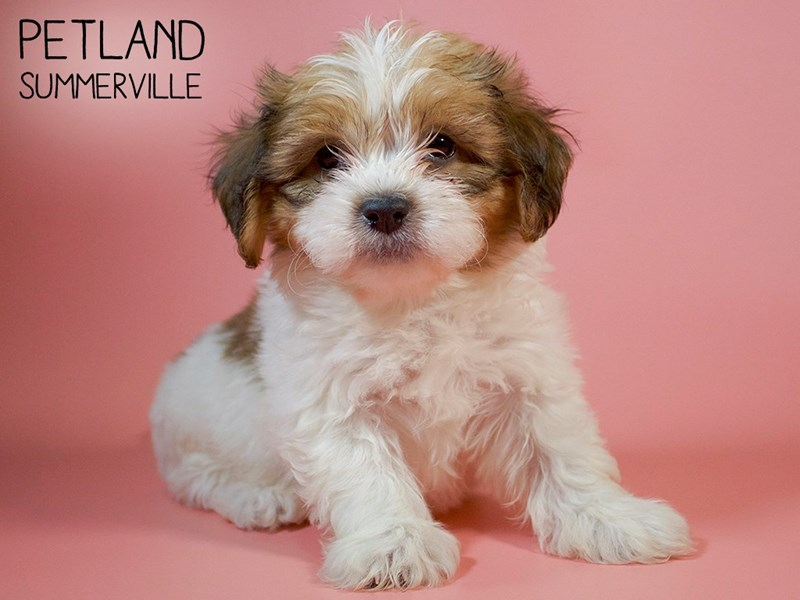 Teddy Bear-Female-BRN WH-2700295-Petland Summerville