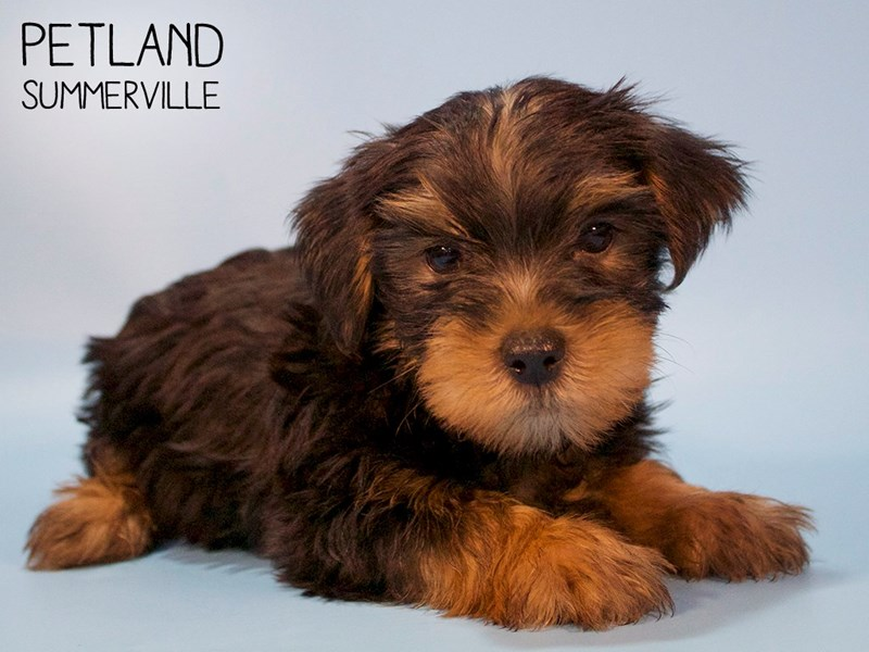 Yorkshire Terrier-Male-BLK TAN-2713323-Petland Summerville