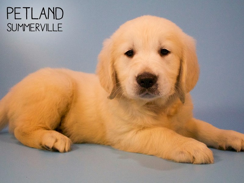 Golden Retriever-Male-LIGHT GOLDEN-2713360-Petland Summerville