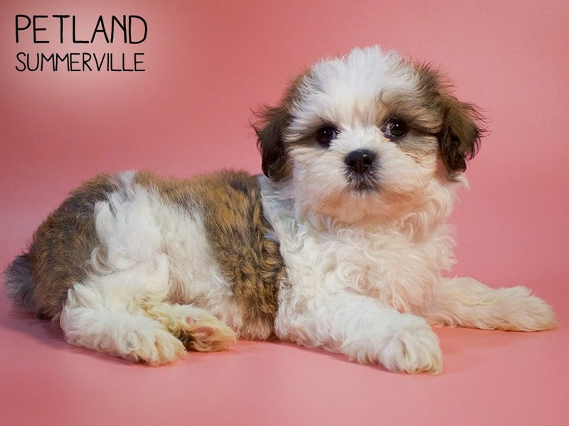 Teddy Bear-Female-Brindle / White-2738348-Petland Summerville
