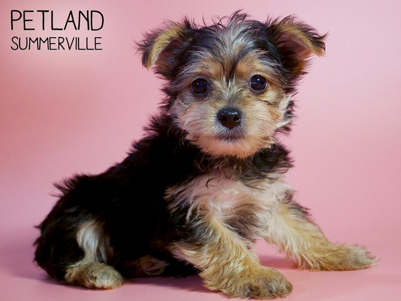 Yorkshire Terrier-Female-Black / Tan-2738346-Petland Summerville