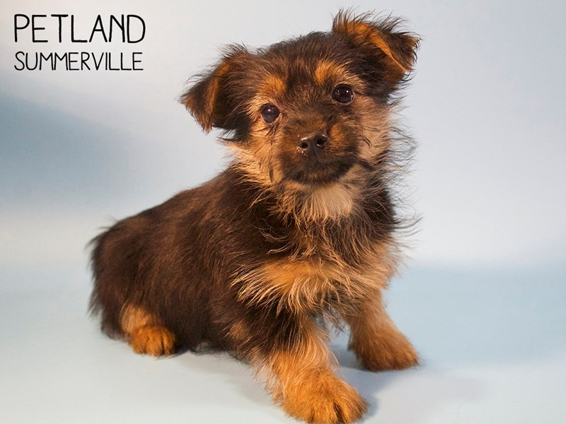Yorkshire Terrier-Male-Black / Tan-2745955-Petland Summerville